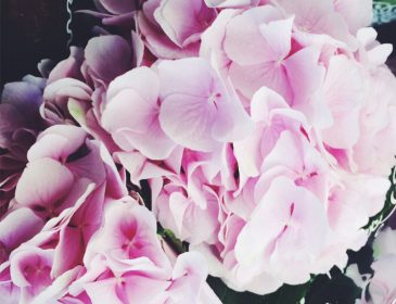 Pretty Hydrangeas, Bumpkin Betty